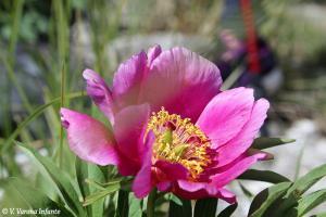Flor peonía silvestre